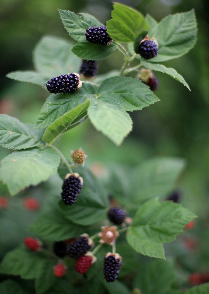 blackberry-bush1