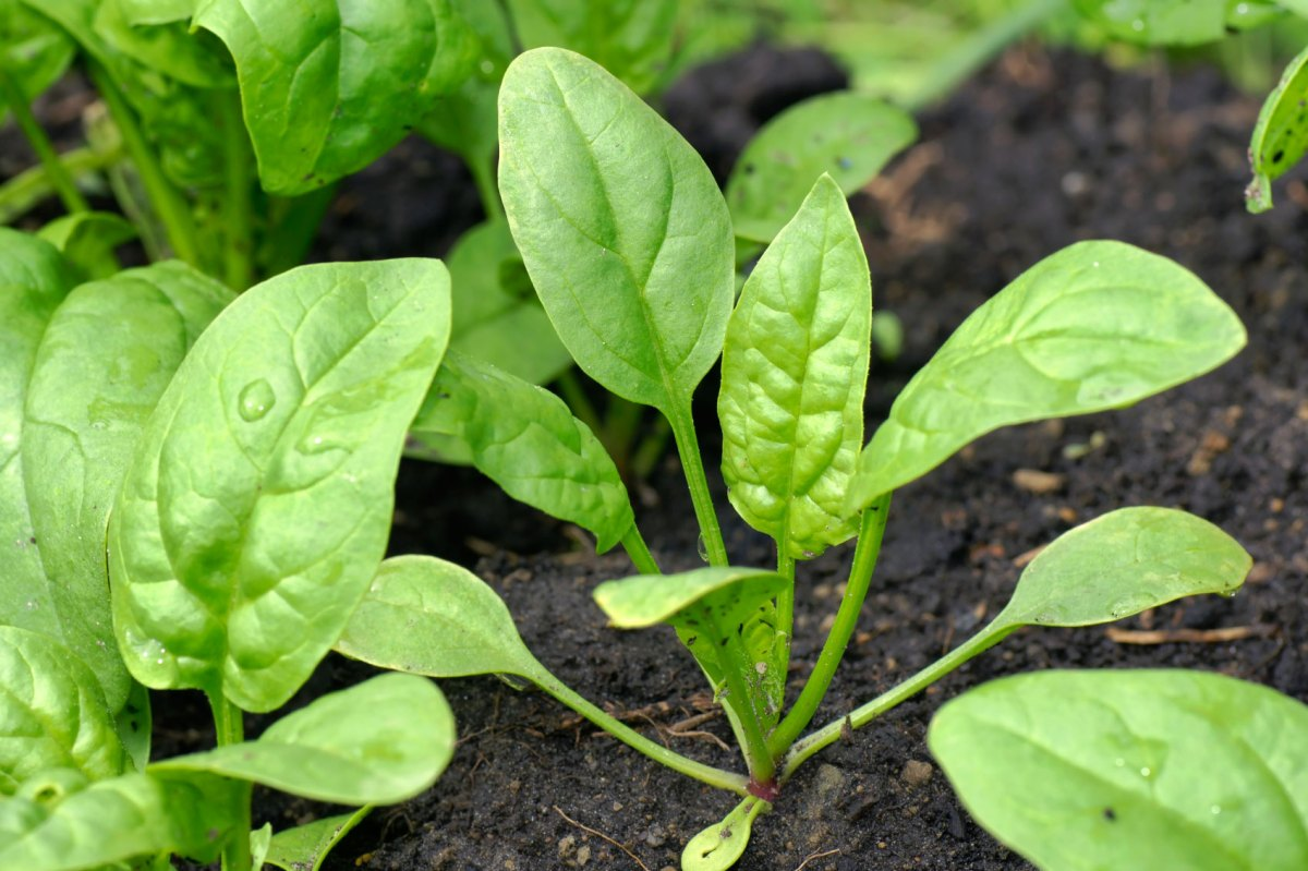 spinach-plant1